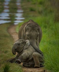 Elephant pictures are the perfect thing to make you smile! We have compiled a list of the top 20 cutest elephant pictures we could find for your entertainment. We guarantee these pictures will make you smile! Cute Elephant Pictures, Elephant Love, Animal Pictures, Cute Baby Animals, Animals And Pets, Funny Animals, Elephant Photography, Animal Photography, Mundo Animal