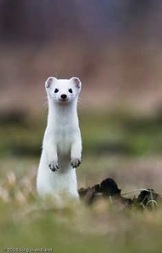 baby stoat | tag / mustelaerminea recent | interesting