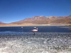 Flamingos na Laguna Cañapa