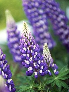 purple & white lupine
