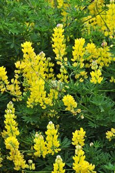 Flowering in magnificent fashion in recent weeks, the tree lupin is very easy to grow, writes Gerry Daly. Character And Setting, Beautiful Gardens, Thriller, Floral Arrangements, Seeds, Novels, Gardening, Island, Yellow
