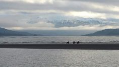 Golden and Bald Eagles on the Spit in Homer, Alaska Homer Alaska, Bald Eagles, Living In Alaska, Waves, Beach, Outdoor, Outdoors, The Beach, Beaches