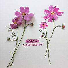 Cosmos. A late summer favourite. #flora #flowers #flowersofnorthamerica #botanical #cosmos