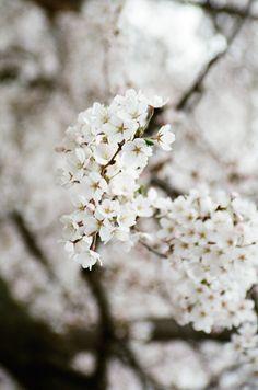 paper-journal:  Spring Blossom, Toronto 2015 www.patorourke.tumblr.com