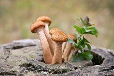 Superagresívna i superliečivá. Taká je podpňovka obyčajná   Záhrada.sk Pesto, Planting Flowers, Stuffed Mushrooms, Plants, Stuff Mushrooms, Plant, Planets