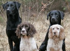 A fantastic selection of working labs and spaniels!