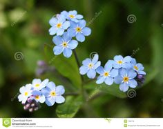 Forget Me Not - Download From Over 58 Million High Quality Stock Photos, Images, Vectors. Sign up for FREE today. Image: 746779