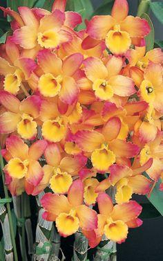 Bela Orquídea!
