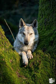 this is my maiden name Wolf I am native and this is my protector spirit and the grizzly bear is my spirit guide .I love animals of all kinds . Wolf Spirit, My Spirit Animal, Husky, Wolf Pictures, Animal Pictures, Beautiful Creatures, Animals Beautiful, Tier Wolf, Malamute