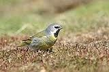rare finches - Google Search