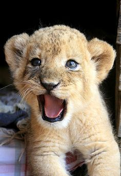 Baby Lion .only 15.000 free lions in Africa, near extinction