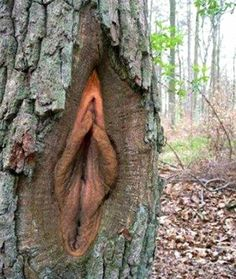 """from the Forest Service: it is a tree fungus and the foresters called it Frost Crack resulting in """"tree conchs"""""""