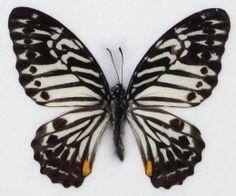 Great Zebra Butterfly Image