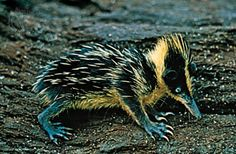 Tenrec - Tenrecidae is a family of mammals found on Madagascar and parts of Africa. Tenrecs are widely diverse, resembling hedgehogs, shrews, opossums, mice and even otters, as a result of convergent evolution.