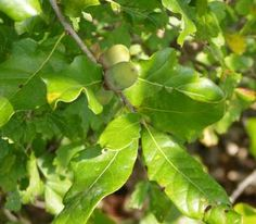 Why are acorns not oak nuts or why are oak trees not acorn trees?