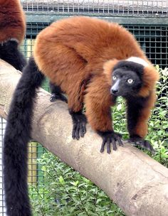 Red Ruffed Lemur is listed (or ranked) 132 on the list The World's Most Beautiful Animals