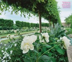 Pleached hedge underplanted with peonies - Cotswold Garden designed by Jinny Blom