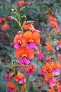 Neils Native Plants is a small boutique online nursery located in Melbourne, specialising in Australian plants for suburban gardens with a range of both common and unusual native plants, some not rea Australian Garden, Plants, Australian Native Plants, Flowers, Australian Plants, Small Shrubs, Native Garden, Australian Wildflowers, Native Plants