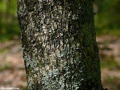 Fringetree (Chionanthus virginicus) bark Fringe Tree, Plants, Plant, Planting, Planets