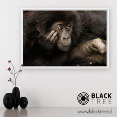 """Si eres un amante de los animales, esta fotografía de edición limitada cautivará tu atención. Se titula """"Gorila Bebé"""", y es parte del trabajo de Rodrigo Moraga.  Puede ser tuya a través de nuestro sistema de compra online, en formato de cuadro decorativo, aquí: https://www.blacktree.cl/gorila-bebe #fotografía #photography #arte #art #instapic #instaphoto #picture #cuadro #naturaleza #nature #animal #gorilla #gorila #baby #bebé"""