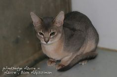 Azure, Blue Abyssinian cat - bred by Windsedge Abyssinians