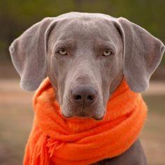 Confira os sintomas e tratamento do resfriado no cachorro, para que o seu amiguinho fique bem o quanto antes! #animais #cachorro #cães #dogs