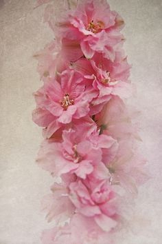Pink Delphinium Gotta try a pink next ;)