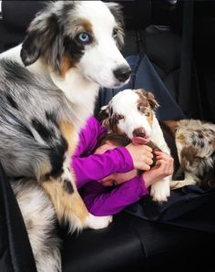 16 Pictures That Perfectly Sum Up What It's Like To Own An Australian Shepherd - BarkPost Aussie Shepherd Puppy, Australian Shepherd Puppies, Aussie Puppies, Tiny Puppies, Dogs And Puppies, Doggies, Australian Shepherds, Teacup Puppies, Corgi Puppies
