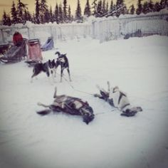 Snow dogs.