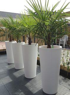 palmboom in pot - Google zoeken