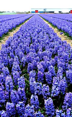 The Keukenhof Gardens in Lisse, a small town in Holland, the Netherlands, not too far from Amsterdam, attracts hundreds of thousands of visitors each spring with its many tulips, daffodils and other flowers. Click to read more or pin and save for later.