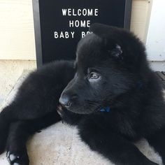 Welcome Home, Baby Bronn! This two month old black German Shepherd has made himself right at home. He follows his big sister everywhere and loves getting into trouble. #germanshepherd #blackgermanshepherd #newpuppy #puppy