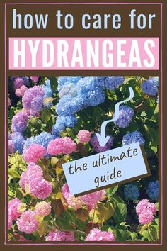 If you ever wished for a dreamy hydrangea garden, you'll love these simple tips for growing healthy, beautiful hydrangeas. From planting to pruning, watering, and fertilizing, you'll have everything you need. #hydrangeas #lanscaping #hydrangeaflowers #pinkhydrangeas #bluehydrangeas #purplrhydrangeas #romanticflowers Hydrangea Potted, Hydrangea Varieties, Smooth Hydrangea, Hydrangea Bloom, Hydrangea Colors, Hydrangea Care, Hydrangea Not Blooming, Hydrangea Flower, Transplanting Hydrangeas