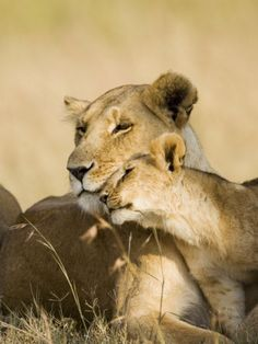 Lioness and Cub Showing Affection, Masai Mara Game Reserve, Kenya, East Africa, Africa