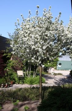 Firebird Crabapple Tree