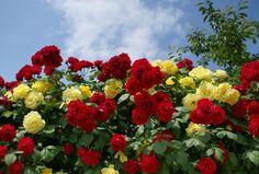 장미꽃 - Google 검색