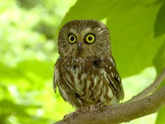 Saw Whet Owl.the owl is a unique creature. Owl Photos, Owl Pictures, Most Beautiful Birds, Pretty Birds, Saw Whet Owl, Owl Wallpaper, Wallpaper Pictures, Screech Owl, Owl Always Love You