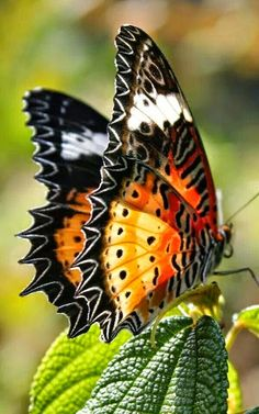 What is the comprehensive Encyclopedia of Insects ? Butterfly Kisses, Butterfly Flowers, Butterfly Wings, Peacock Butterfly, Butterfly Pupa, Monarch Butterfly, Pink Flowers, Beautiful Bugs, Beautiful Butterflies