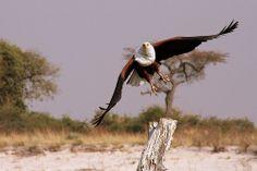 African Fish Eagle in Flight in Botswana