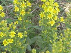 Oggi vi presento un pianta spontanea che si sta rivelando molto utile per l'olivicoltura e apicoltura, che forse avete già visto di sfuggita in qualche fosso a bordo strada o in campagna. Que…