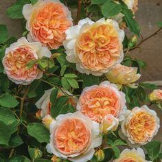 Bathsheba - David Austin Roses                              …