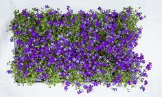 Bilde av HAGEPUTE 'BLAUMEISE' Plants, Herbs, Planters, Garden