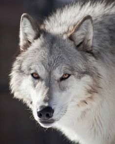 Beautiful pic!  Please send your comment to Congress and tell them to protect the wolves BEFORE Dec. 17, 2013!  They desperately NEED EVERY VOTE they can get! Click here:   http://www.regulations.gov/#!submitComment;D=FWS-HQ-ES-2013-0073-30560