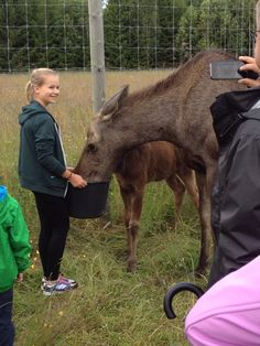 Füttern der Elche Moose, Cow, Animals, Summer 2015, Sweden, Travel Destinations, Travel, Elk, Animales