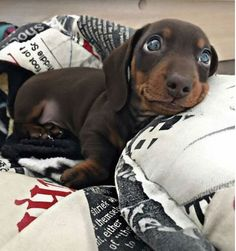 dachshund adoration. it's the look of pure love only for you. and they mean it.