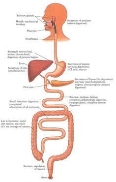 Which Of The Following Is An Accessory Organ Of Digestion Accessory Digestive Organs Teeth Salivary Glands Pancreas Liver