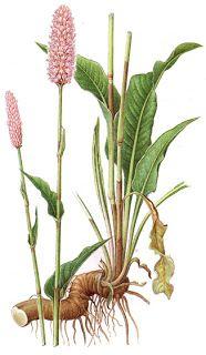 clube de montanhismo de braga: Plantas comestíveis (1ª parte)