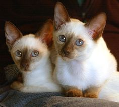 We are Siamese if you please....We are Siamese if you Don't please....