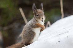 """Siemenvaras ©Teemu Nuutinen: """"Keväällä lintulaudan poiston aikoihin tuli oravalle kiire hamstrata siemeniä."""""""