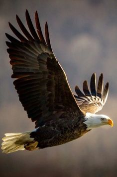 Types of Eagles - American Bald Eagle art portraits, photographs, information and just plain fun The Eagles, Types Of Eagles, Bald Eagles, Pretty Birds, Beautiful Birds, Animals Beautiful, Beautiful Creatures, Eagle In Flight, Birds In Flight